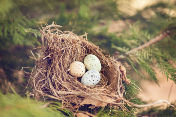 three bird eggs in a nest spring