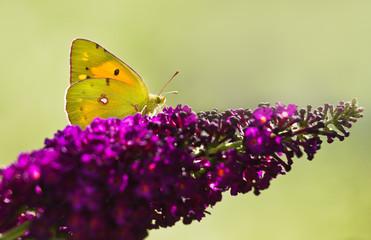 Dark Clouded Yellow Butterfly on Butterflybush