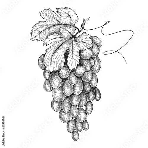 Hand drawn illustrations of grapes