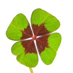 Vierblättriges Kleeblatt, Glücksklee, freigestellt