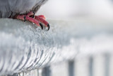 Detail of pigeon feet on a fence full of sleet and ice