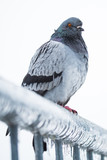 Pigeon on a fence full of sleet and ice