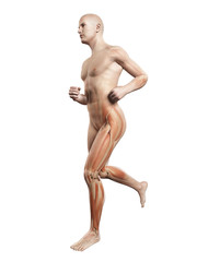 3d rendered illustration - jogger muscles