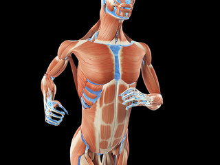 3d rendered illustration - muscle anatomy of a jogger