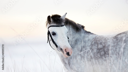 Portrait of a gray horse