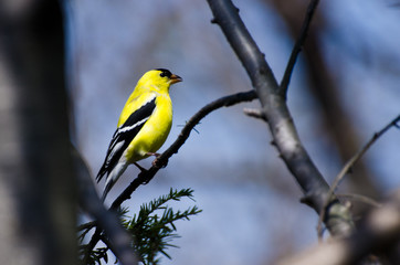 Male Goldfinch Perched on a Branch