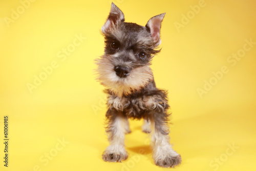 Little Minuature Schnauzer Puppy Dog