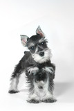 Cute Baby Miniature Schnauzer Puppy Dog on White