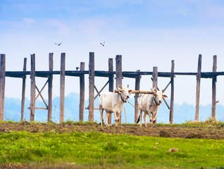 Bulls working in the field, Myanmar