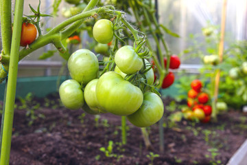 Bunch of green tomatoes on a branch