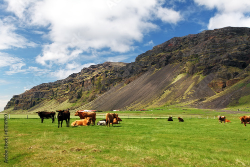 Cow on green meadow in Iceland