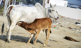 Cow feeding calf milk