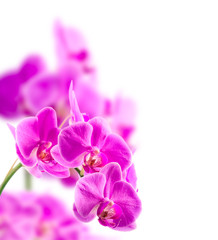 Purple orchid. Isolated with a white background
