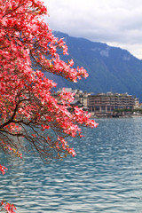 blooming magnolia branch, Lake Geneva, Switzerland.