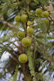 Amla, Emblica officinalis, Indian Gooseberries