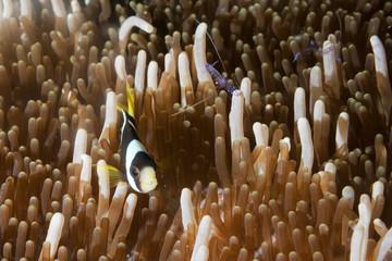 Clown fish in anemone with shrimps in Raja Ampat Papua, Indonesi