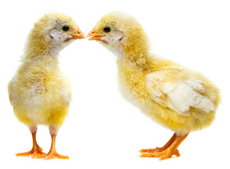 cute chickens - love