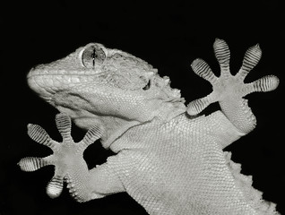 gecko lizard showing his ten adesive fingers