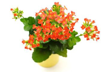 red  Kalanchoe flower isolated