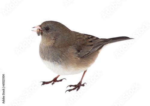 Dark-eyed Junco Isolated