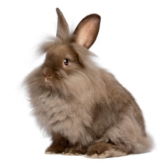 Cute sitting chocolate lionhead bunny rabbit