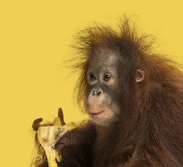 Close-up of a young Bornean orangutan eating a banana