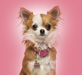 Chihuahua wearing a shiny collar, sitting on pink background