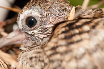 Baby bird's eye