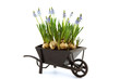 miniature of wheelbarrow filled with blue grape hyacinth