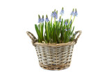 reed basket with blue grape hyacinths
