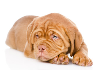Sad Bordeaux puppy dog. isolated on white background