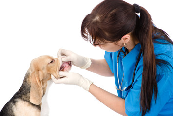dog getting teeth examined by veterinarian. isolated on white