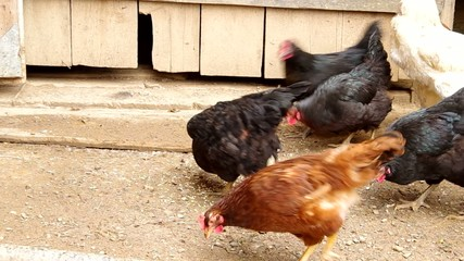 Feed chickens in the yard