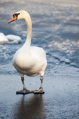 Mute Swan walking in the natural winter environment.