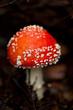 roter giftiger fliegenpilz amanita muscaria saison wald