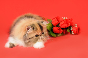 Persiano tortie tabby con rose rosse