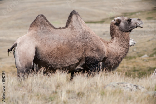 Camel on the background hills