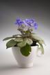 Purple violet flowers in a pot