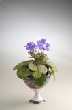 Purple violet flowers in a pot