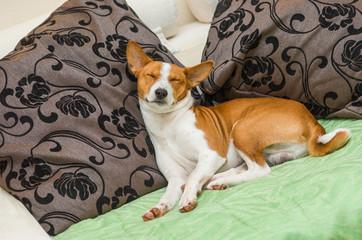 Dormant Basenji dog being in sleeping pose on the sofa