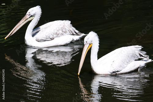 Fotobehang Pelicans