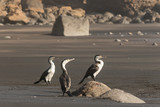 three cormorants on volcanic beach