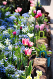Mix of Holland tulips and spring hyacinths