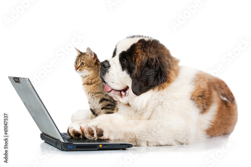 Saint bernard puppy with tabby cat in front of a laptop