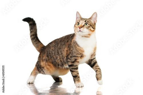 Cat walking isolated on white - 61049311