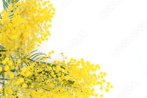 Zdjęcia na płótnie, fototapety, obrazy : Pianta di mimosa