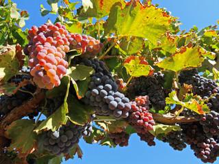 Ramo di vite carico di grappoli di uva