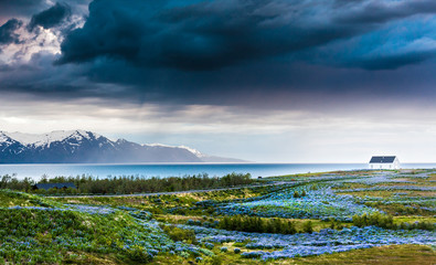 Iceland: lupins meadow over atlantic coastline.