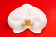 Beautiful White Orchid Flower on Red Background