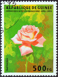 Gail Borden rose (Guinea 1995)